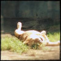 lion_0634.JPG